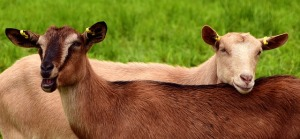 goats-2719445_640
